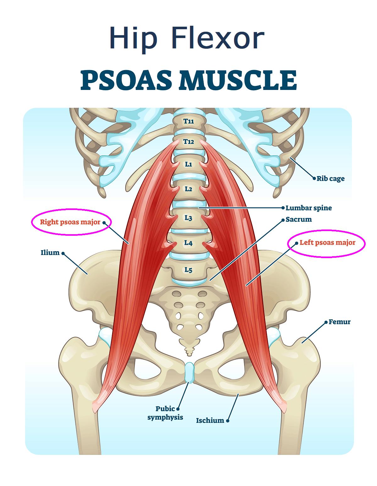 hip flexor | psoas muscle