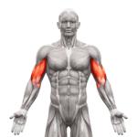 bicep muscle | bicep tendonitis